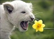 Приказка за бялата лъвица