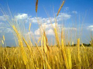 Лимецът – дивото жито от древността (ОБНОВЕНА – ВИДЕО)
