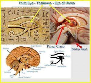 Третото око – Таламусът – окото на Хор