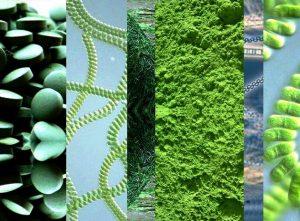 Синьо-зелените водорасли АФА